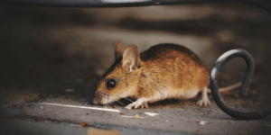 como ahuyentar ratones en hogares y empresas